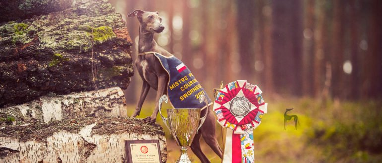 polish lure coursing champion 2017