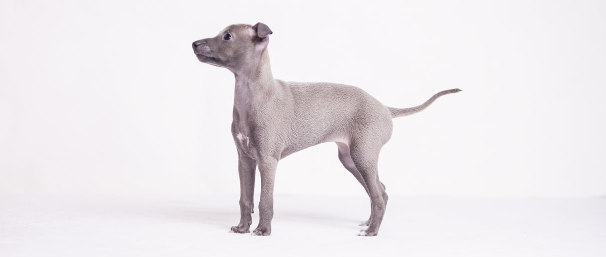italian sighthound kennel