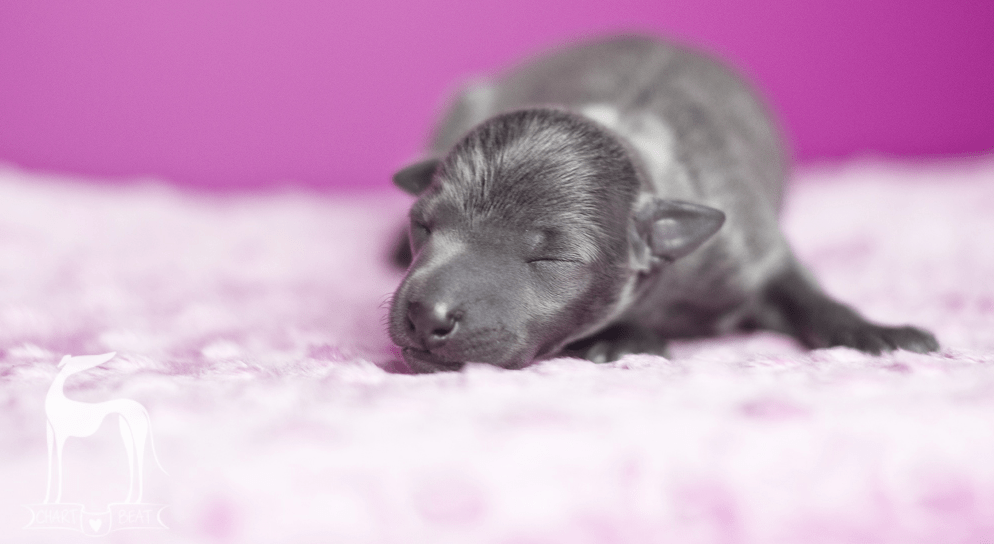 psi noworodek