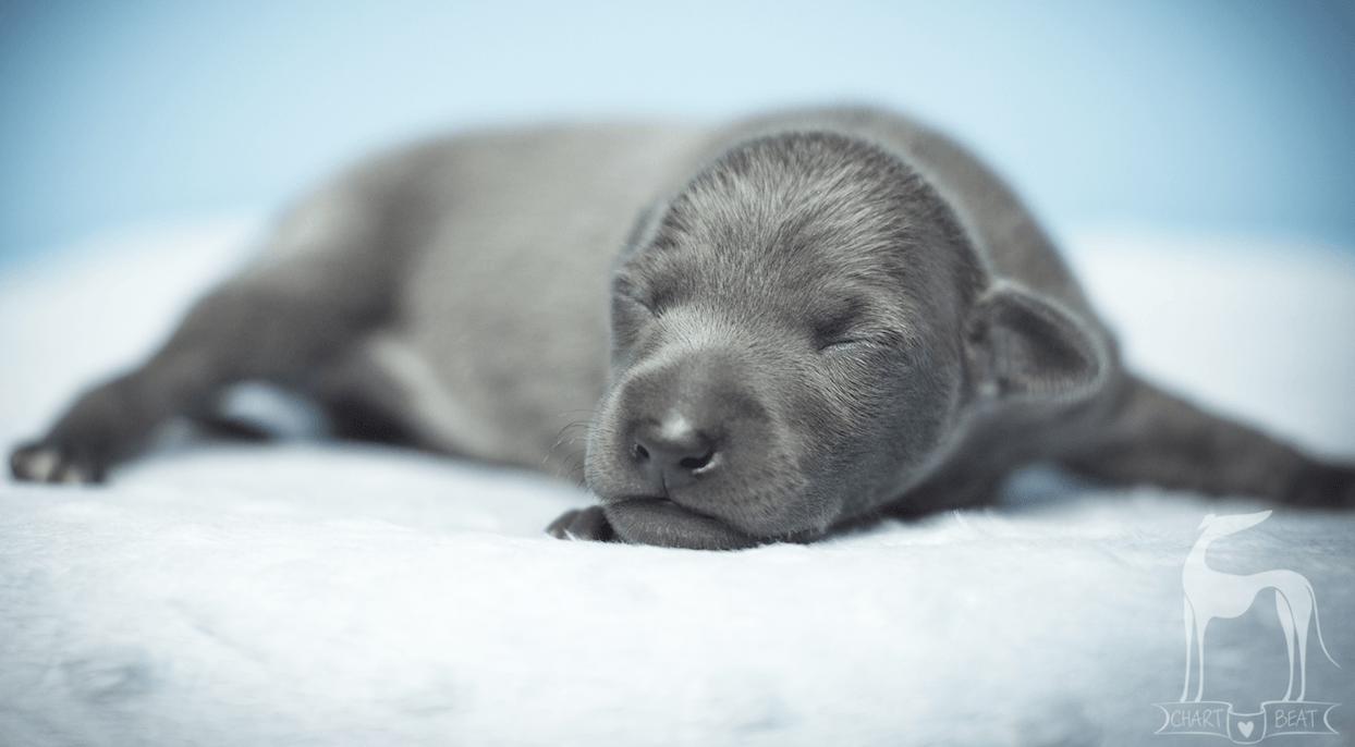 italian sighthound puppy