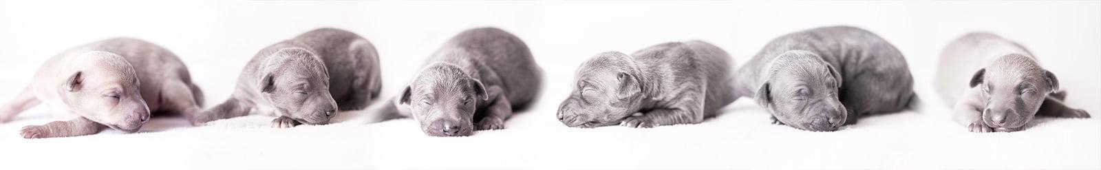 puppies italian greyhound