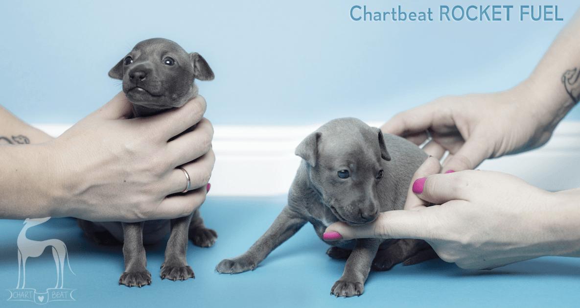 italian sighthound breeder