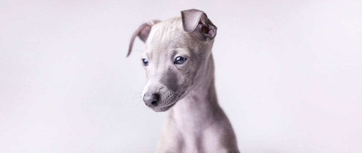 italian sighthound puppy
