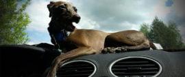 charcik włoski w samochodzie