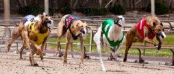 psy wyścigowe